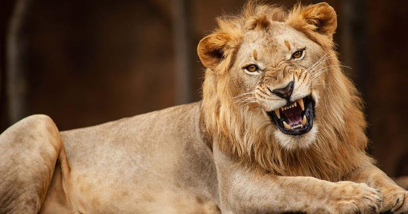 Naine, keda lõvi peksis pärast seda, kui ta sisenes selle aeda, et teha koos suure kassiga pilti