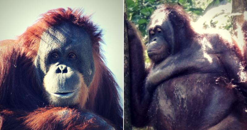 Orangotango cativo forçado a usar maquiagem e brincos em bordel onde os clientes pagavam US $ 2 para fazer sexo com ela