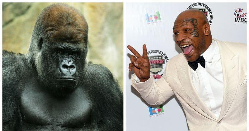 'Ich wollte seine Rotzkiste zerschlagen': Mike Tyson verrät, dass er einmal 10.000 Dollar angeboten hat, um in einem New Yorker Zoo gegen Gorilla zu kämpfen